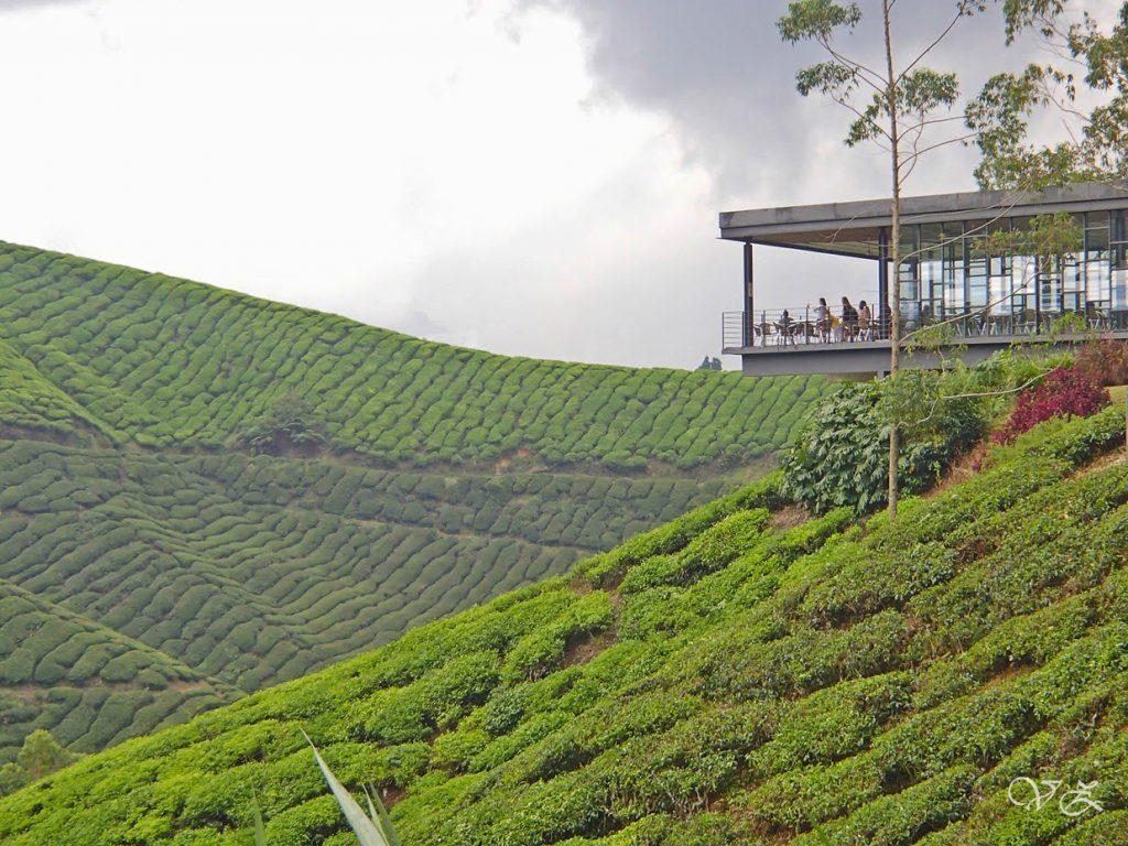 Boh Tea Plantation Cameron Highland in Malaysia
