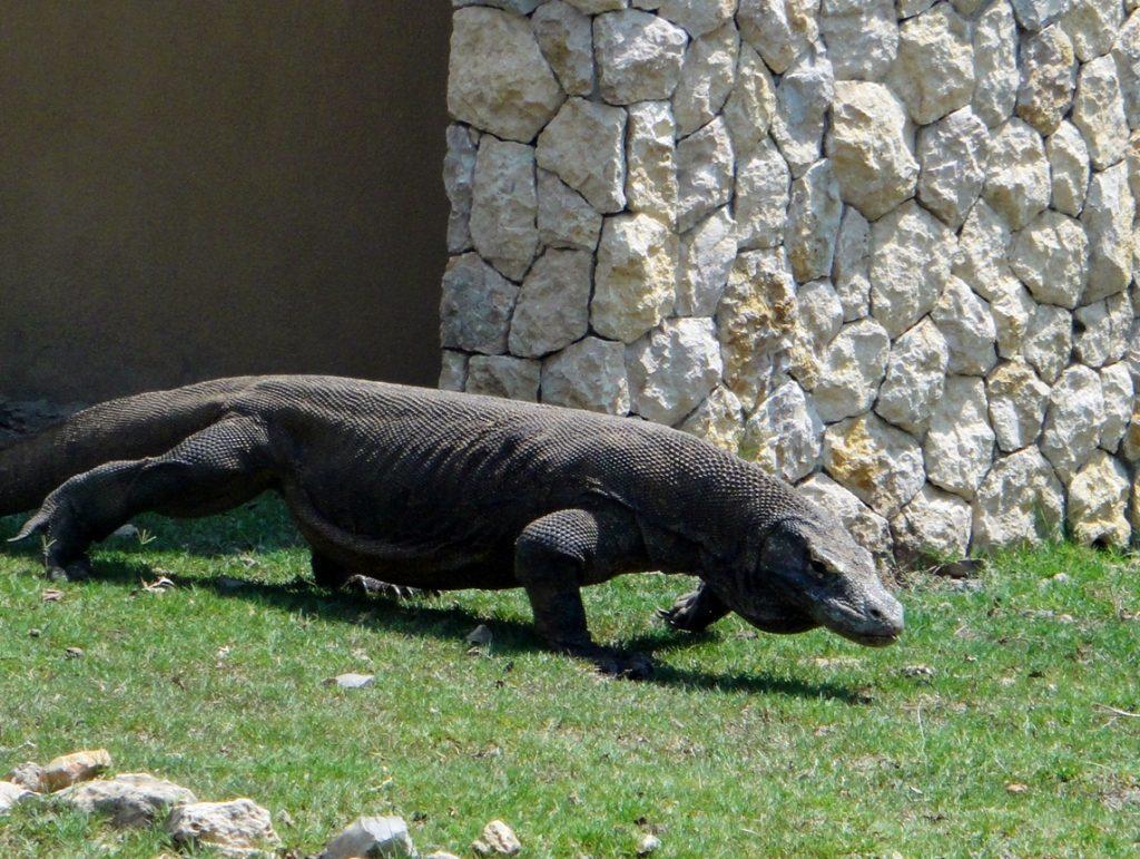 Komodo Dragon Rinca Island